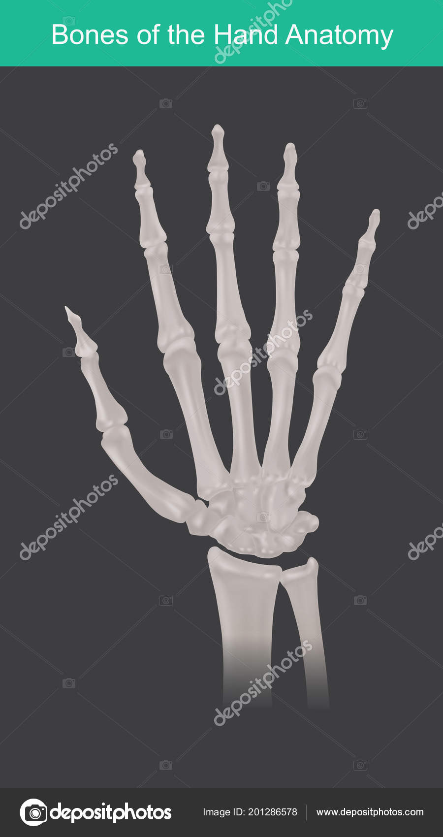 Anatomy Human Hand Fingers Bones Top View — Stockvector © pattarawit ...