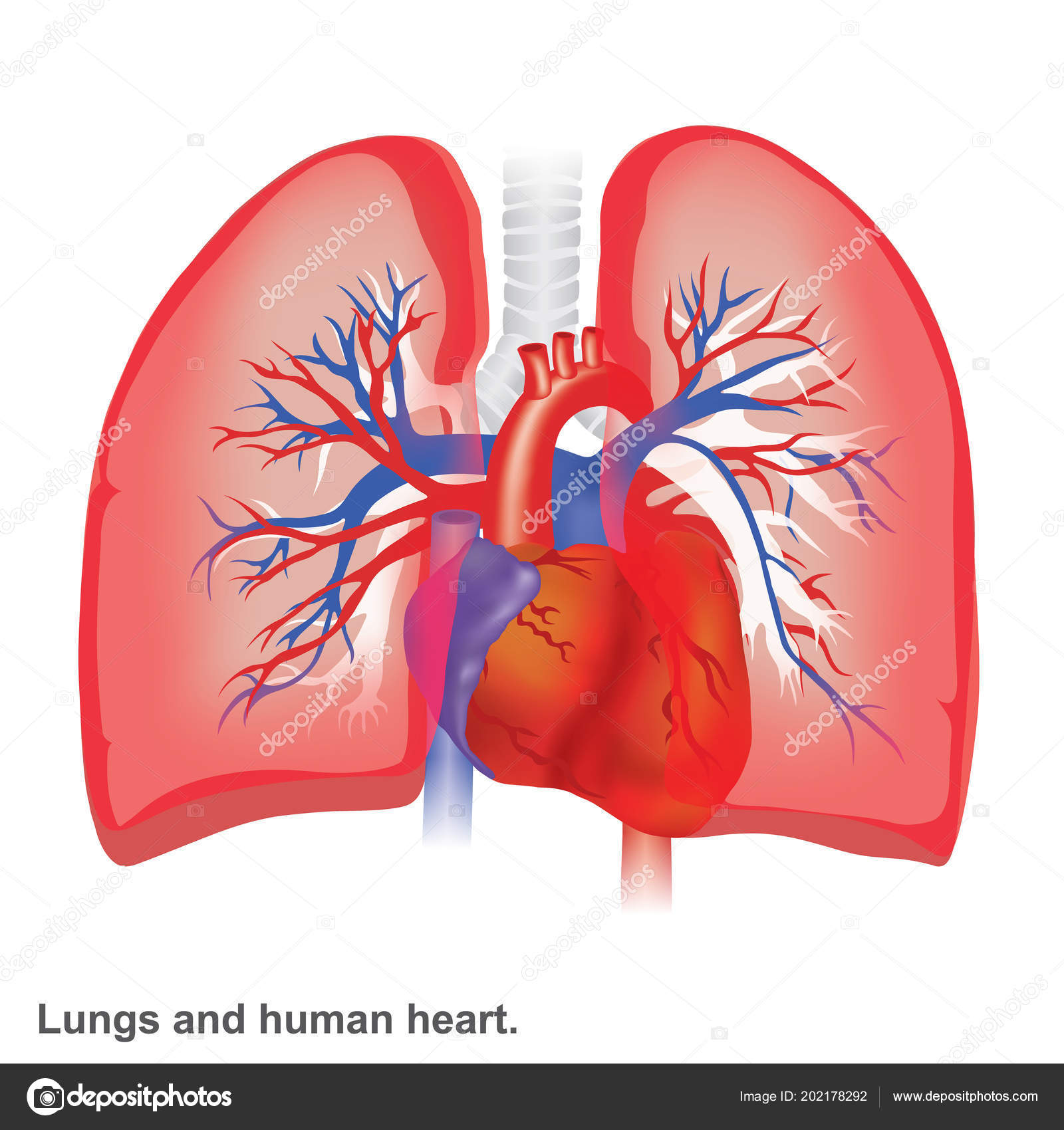 Lungs Human Heart Illustration Infographic Anatomy