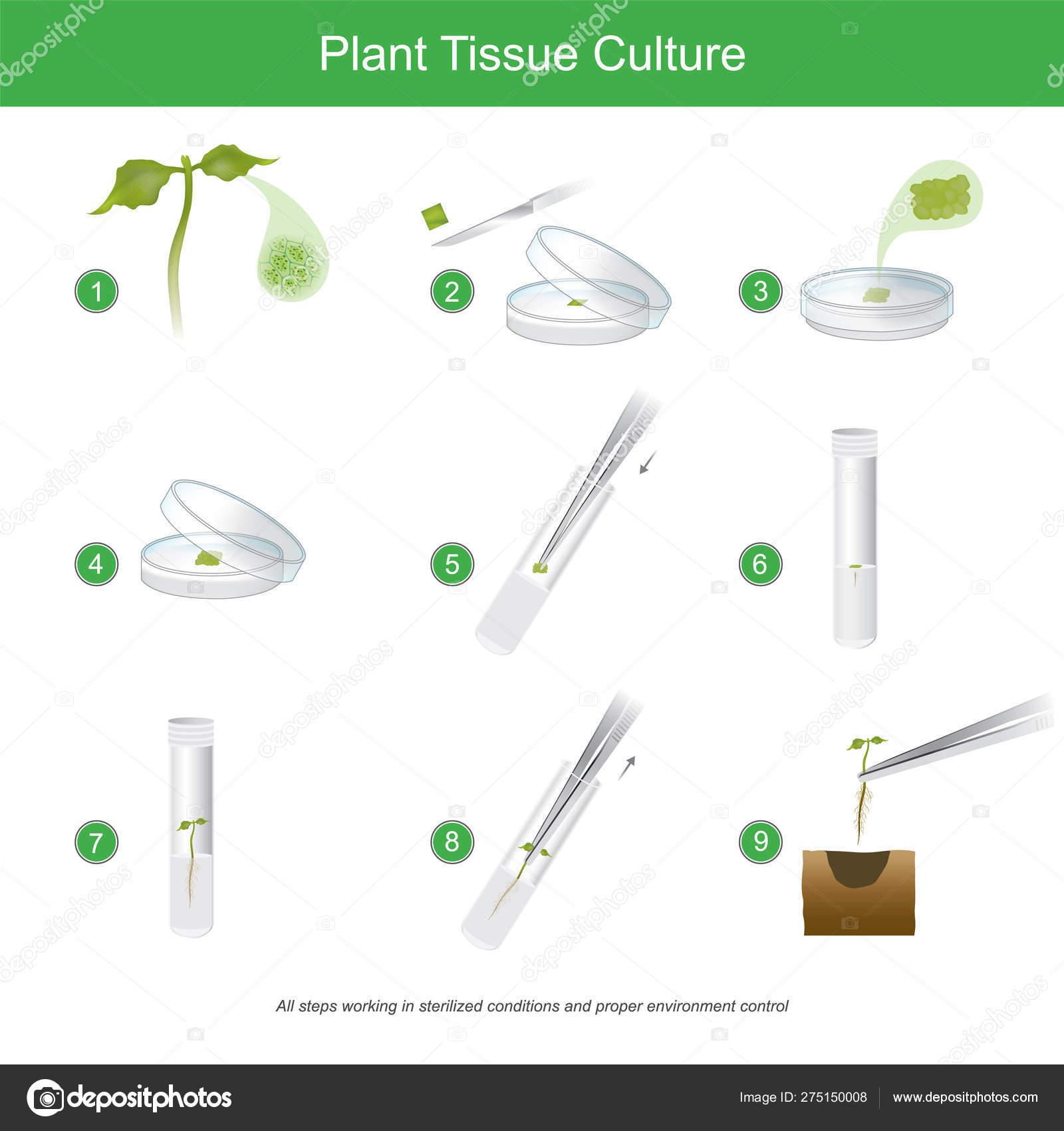 Plant Tissue Culture Rare Plant Tissue Culture With Cutting