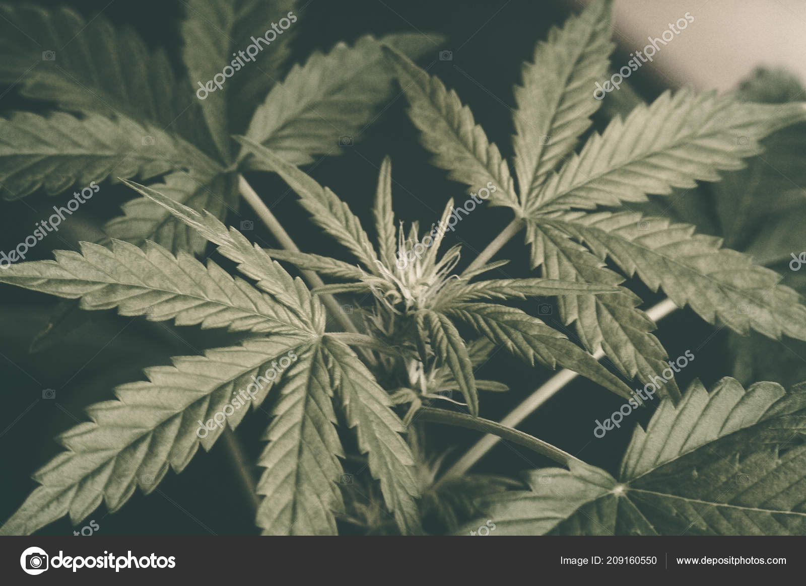 Unique Beautiful Leaves Of Marijuana Cannabis Plant Large And Detail Background Indor Groow Stock Photo C Cendeced 209160550