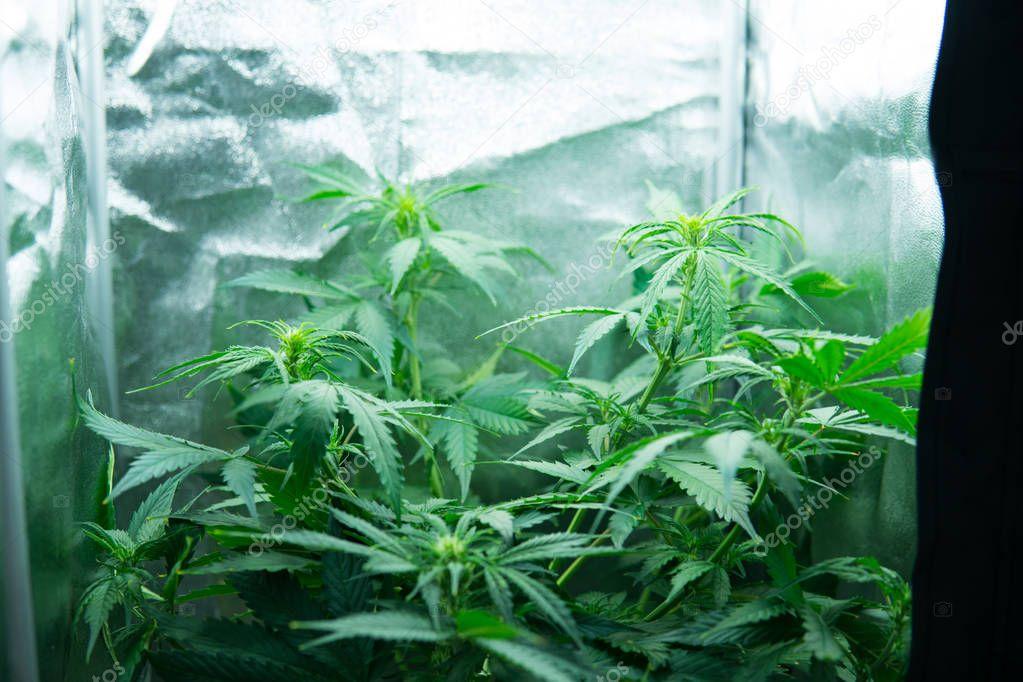 Видео цветения марихуаны эффект марихуана усилить