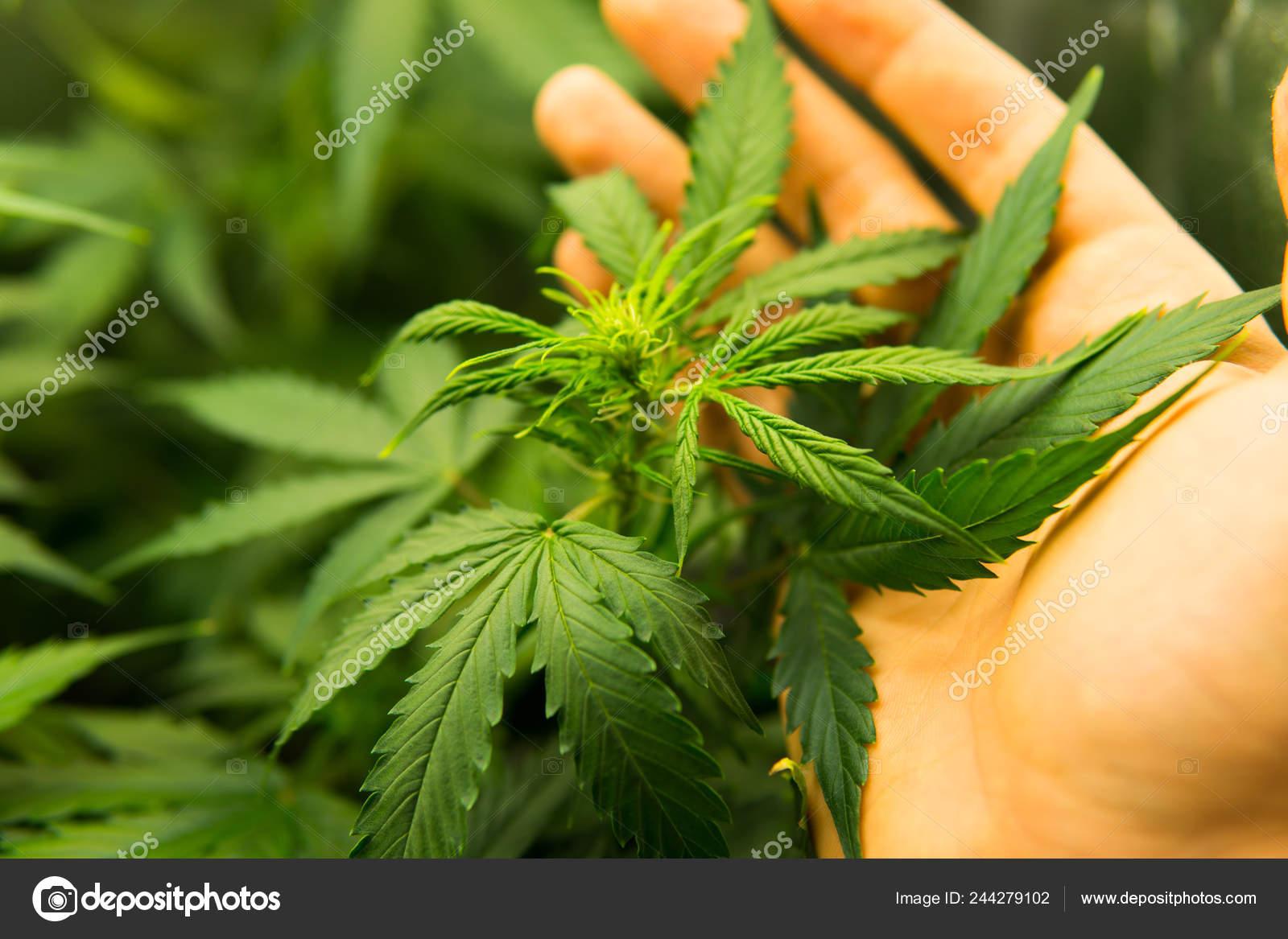 Конопля молодое растение настойка конопли купить