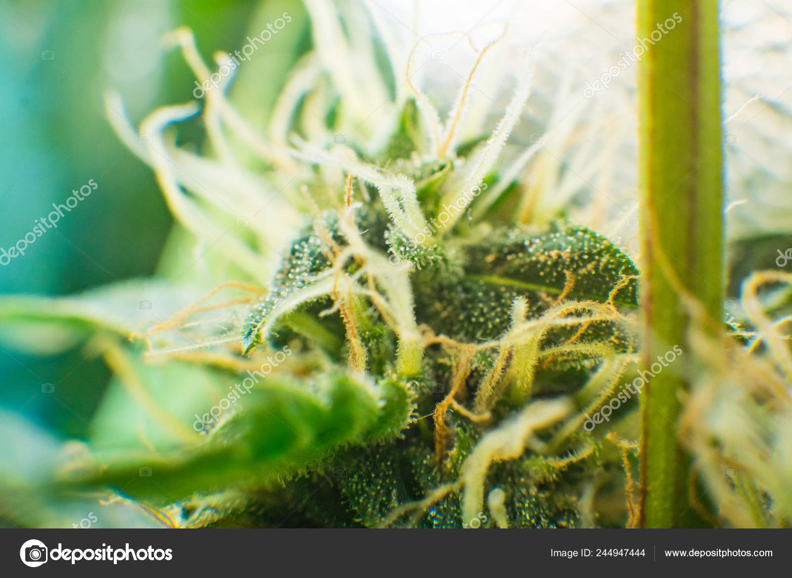 Medicinal indica with CBD  Macro shot of cannabis bud  Green