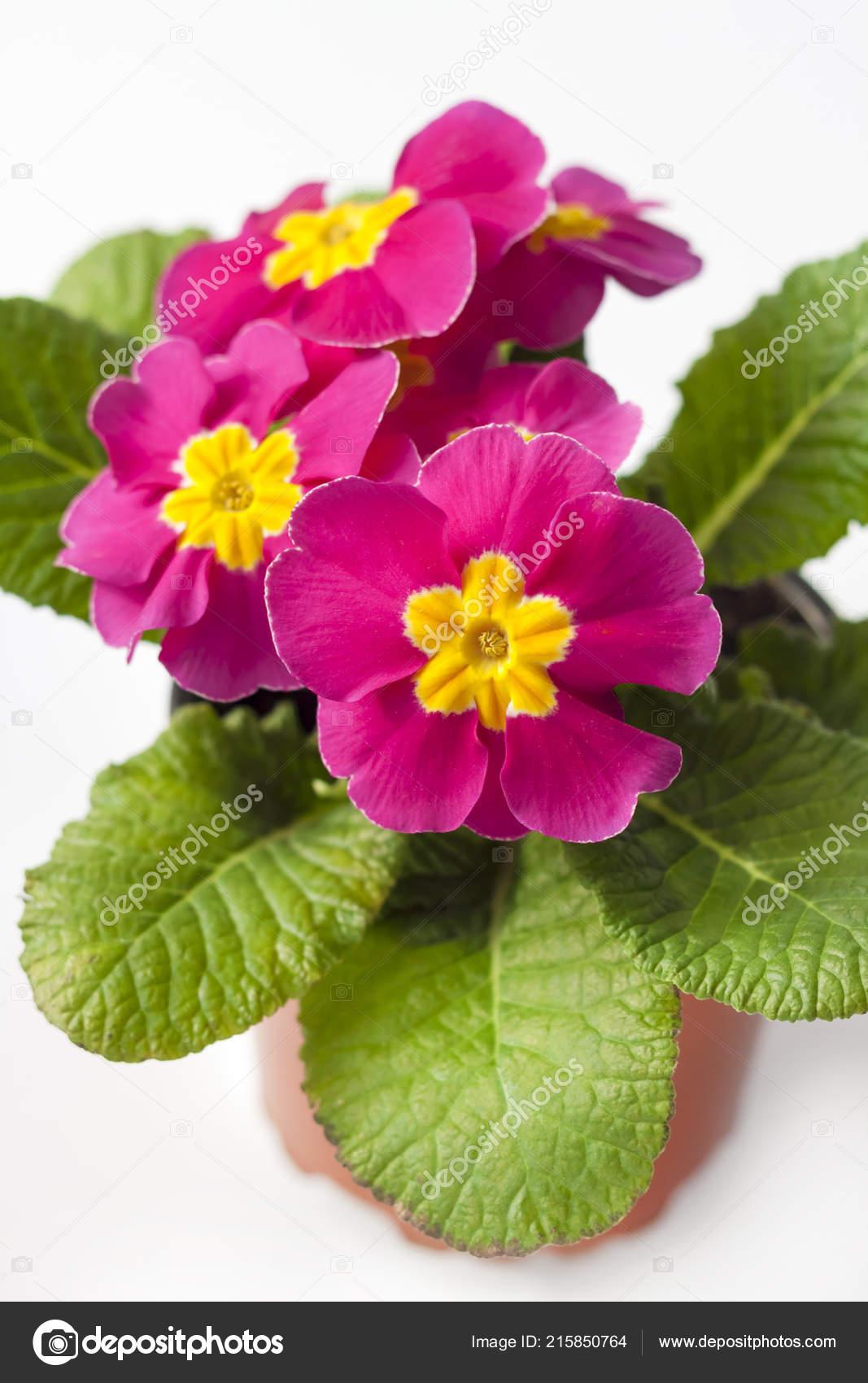 Vaso Fiori.Fiore Rosa Primula Primula Vaso Fiori Fondo Bianco Foto Stock
