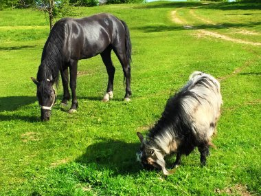 Beautiful black horse and goat grazing together on a green meado