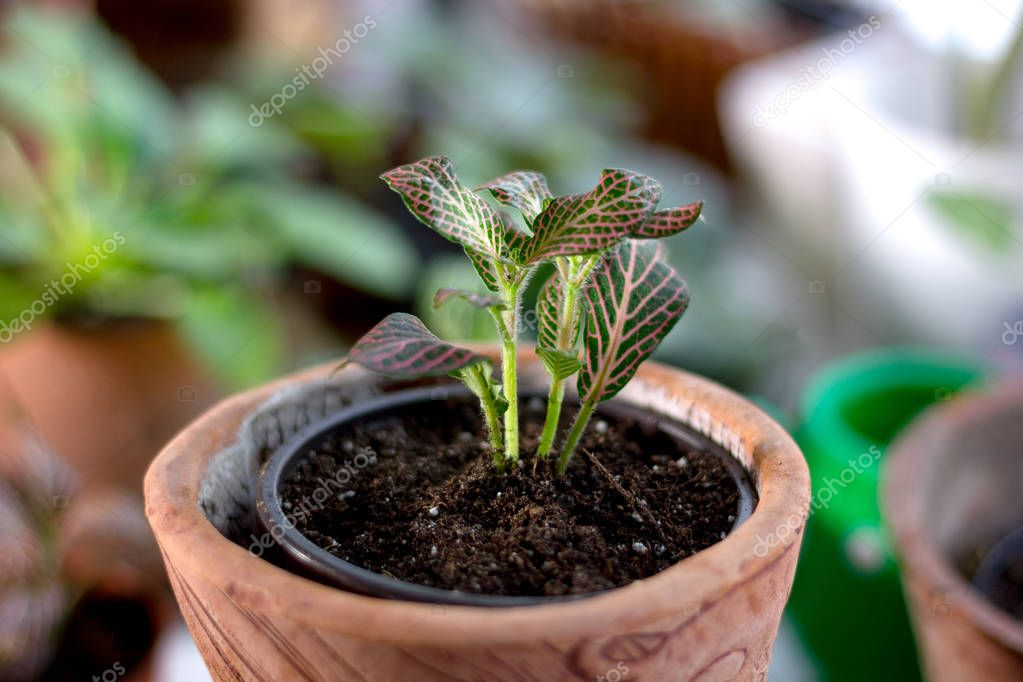 Fittonia home plant in a clay pot.