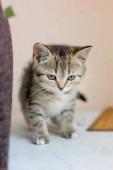 Cute adorable kitten walkint on the white floor