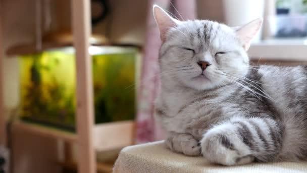 közeli felvétel gyönyörű szürke abby macska