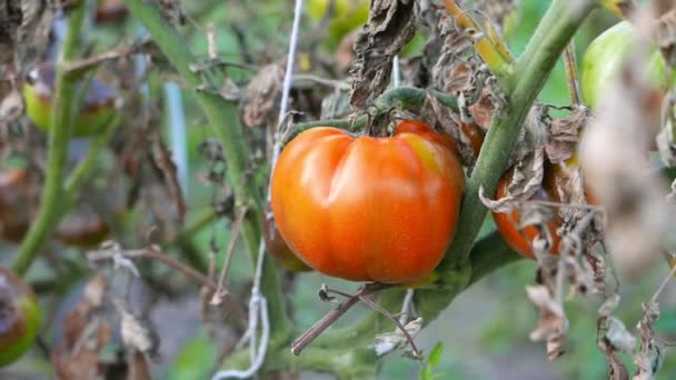 close-up footage of ripe tomato growing on bush