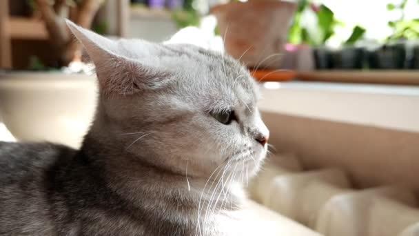 Egy szürke házi macska portréja