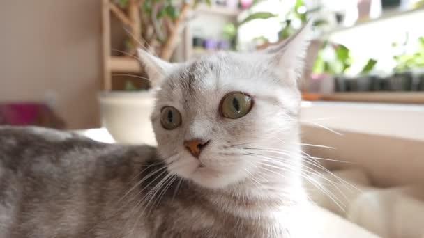 Portrét šedá kočka domácí