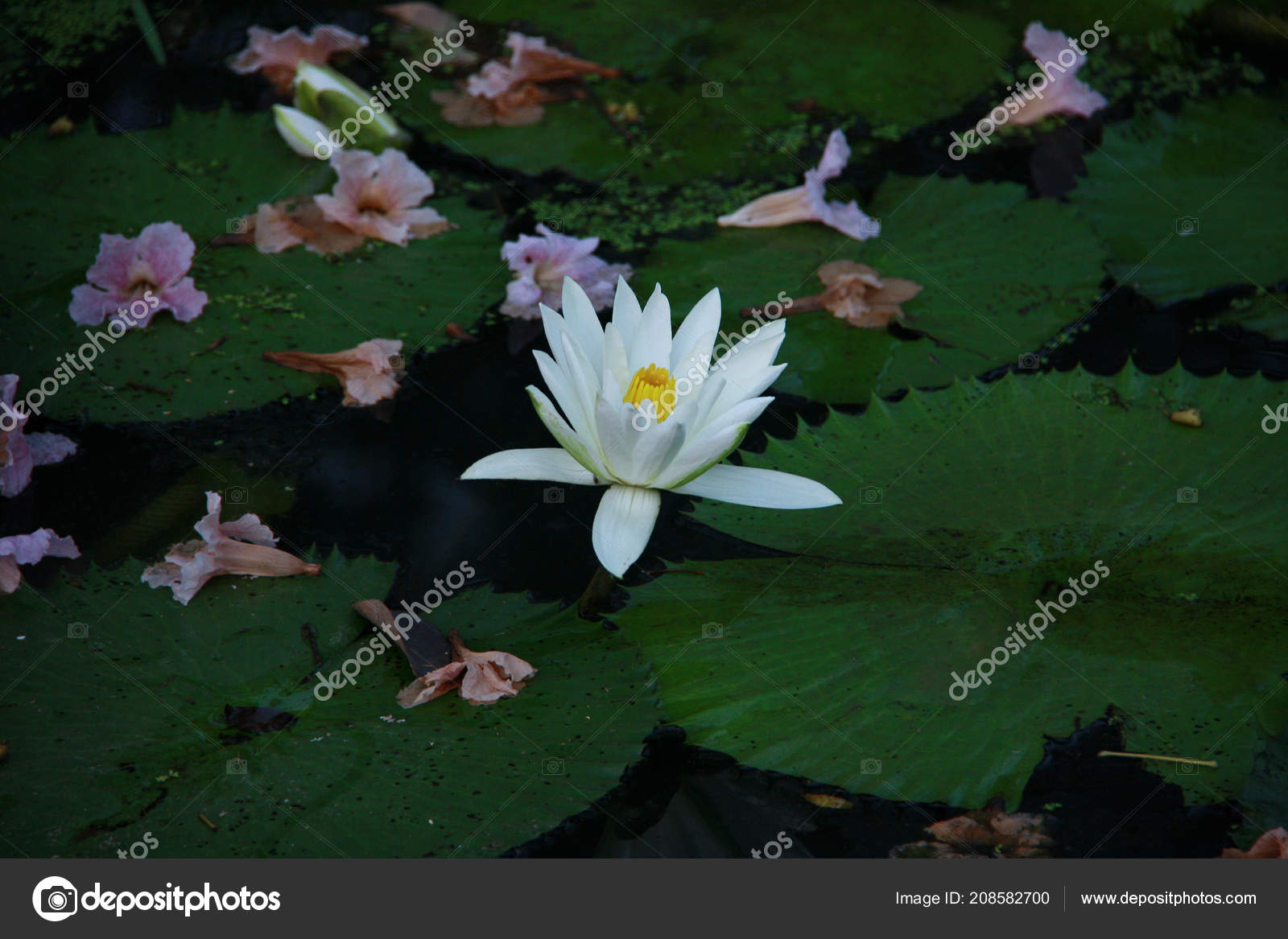 Colorful lotus flowers bright colors natural pool stock photo colorful lotus flowers bright colors natural pool stock photo izmirmasajfo