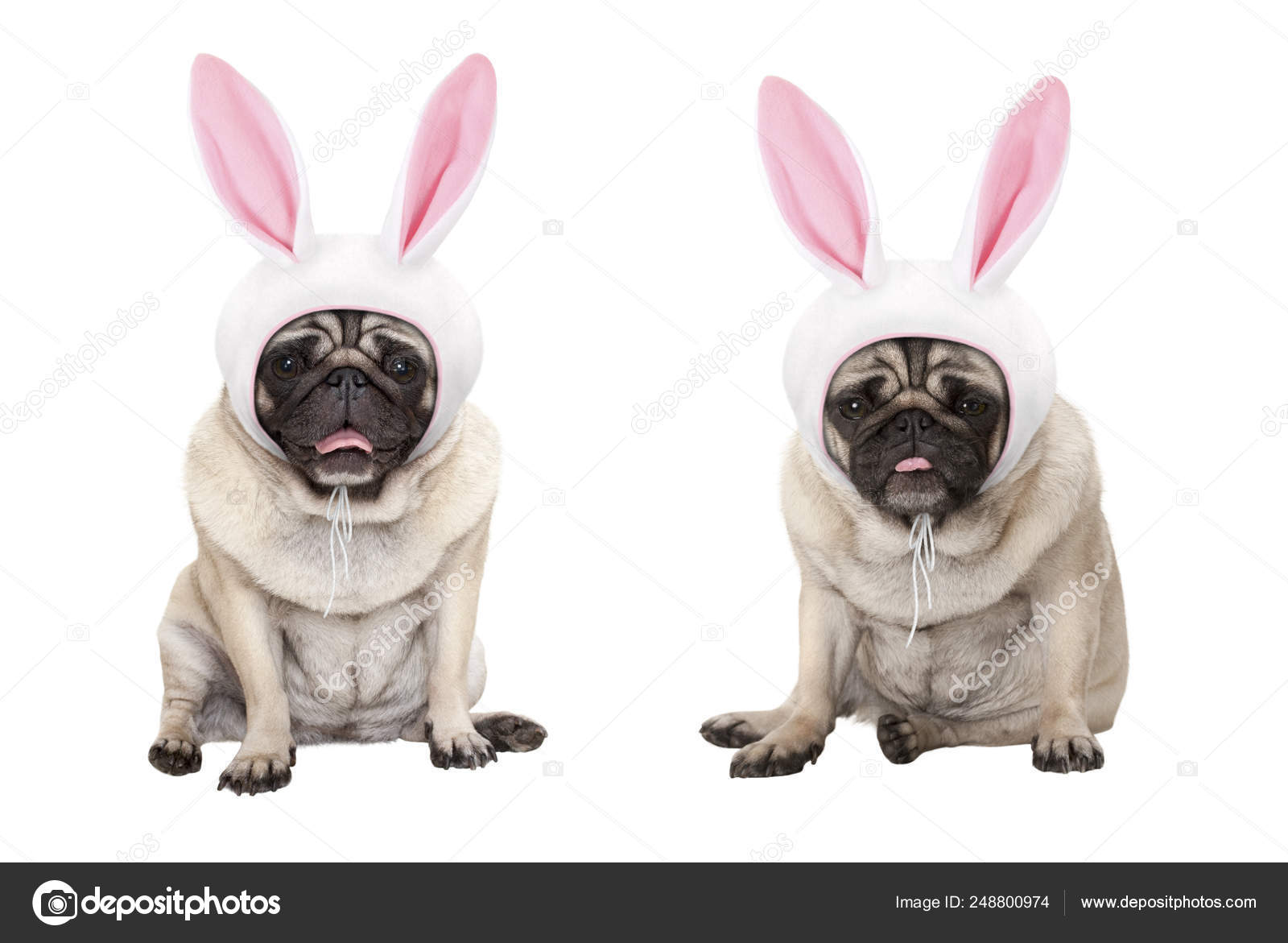 Easter Pug Puppies Funny Little Easter Pug Puppy Dogs Sitting Wearing Easter Bunny Stock Photo C Monicaclick1 248800974
