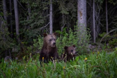 Grizzly Bear cubs in the woods. Taken in Banff National Park, Alberta, Canada.