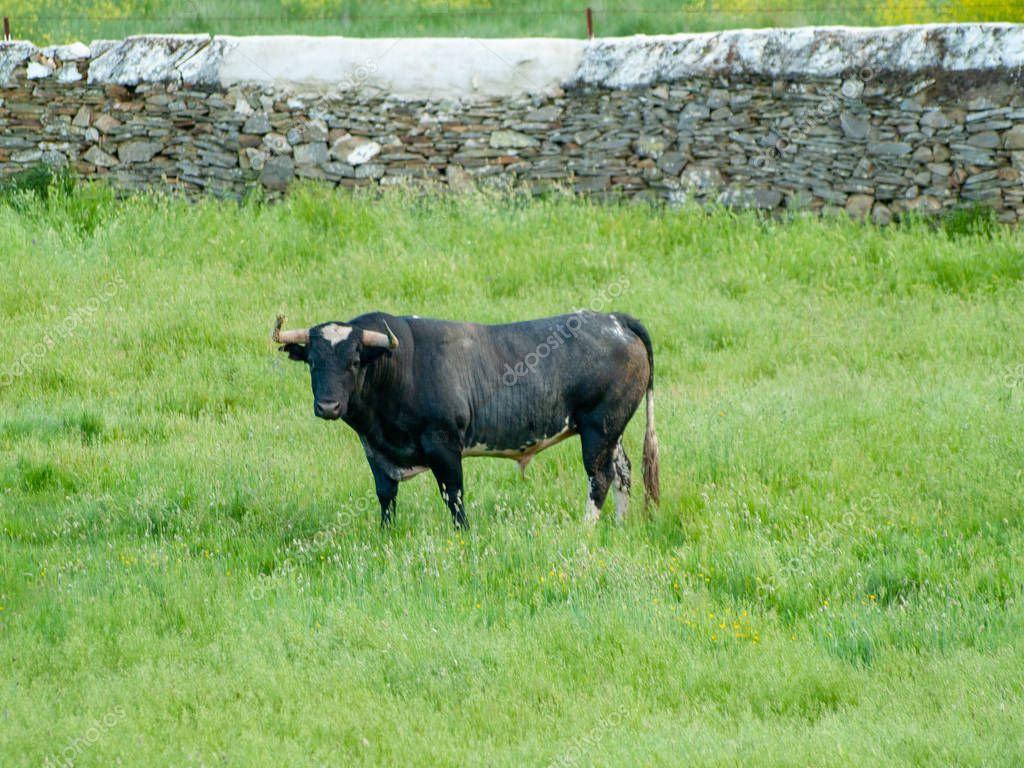 Brave bull on the pasture in Spain at summertime