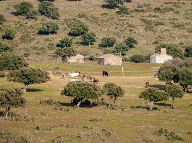 A herd of cows grazing on farm  in Spain. Agriculture