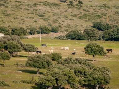 A herd of cows grazing in Spain. Agriculture