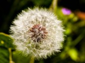 Pampeliška květinku zblízka