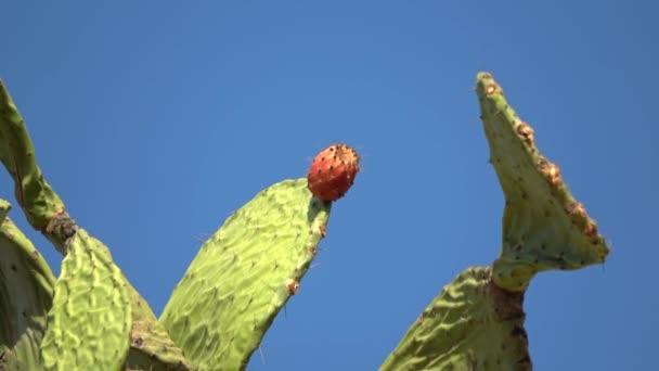 Tüskés körte kaktusz közel gyümölcs piros színű felett tiszta kék ég. Opuntia, az úgynevezett tüskés körte, a kaktuszcsalád egyik nemzetsége, a kaktuszfélék. A tüskés körte ismert tonhal (gyümölcs), szabra, nopal