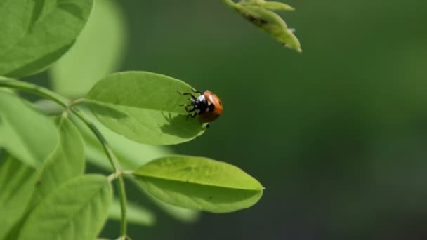 Red ladybug on a leaf of a young locust tree