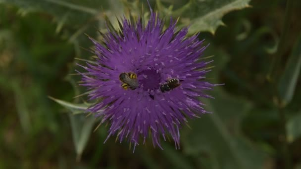 Two types of bees collect pollen on Flower Burdock