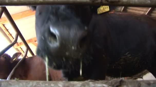 kráva čichání kamery