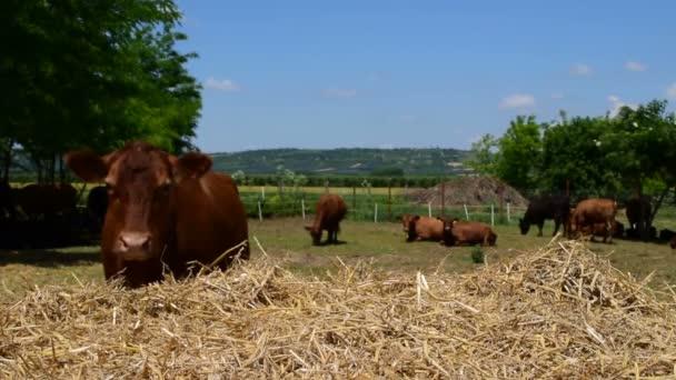 Brown Angus krav v poli