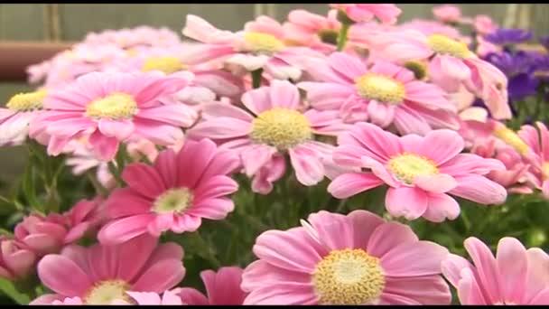 Beautiful pink chrysanthemum flowers