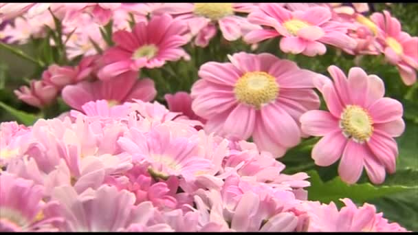 Beautiful pink chrysanthemum flowers