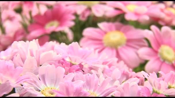 Gyönyörű rózsaszín krizantém virág