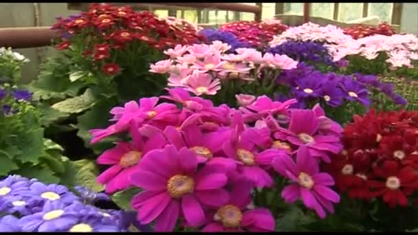 Krizantém virág minden színben