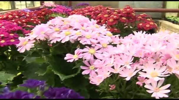 Chrysanthemum květiny ve všech barvách