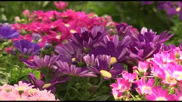 Chrysanthemum flowers in all colors