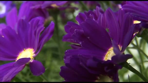 Beautiful purple chrysanthemums flowers