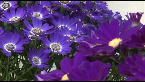 Krásná fialová chryzantéma květy