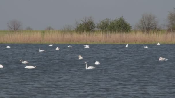 white swans in a blue lake