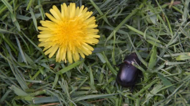 Chrobák - Externí odkazyEditovat stercorarius - černá bug na trávníku poblíž Pampeliška