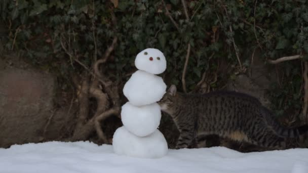 cirmos cica kíváncsian szippantás hóember