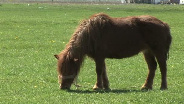 Hnědý poník pasoucí se v zeleném poli