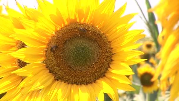Včely sbírají pyl na slunečnice