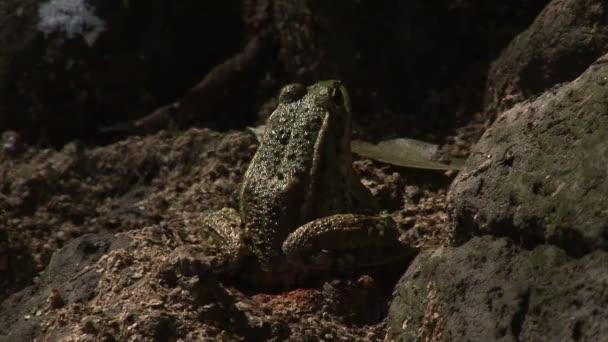 grande rana verde in natura