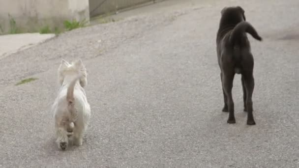 White Terrier and black Shar-pei walking down the street and barking