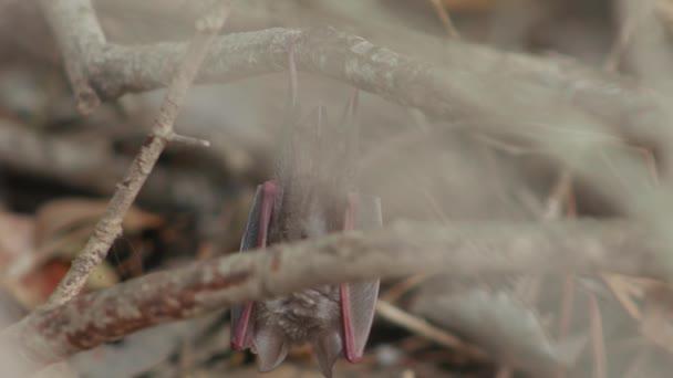 Fledermaus hängt an einem Ast im Busch