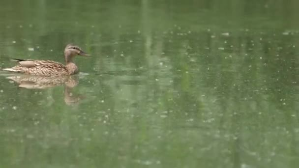 The duck floats on the green river.