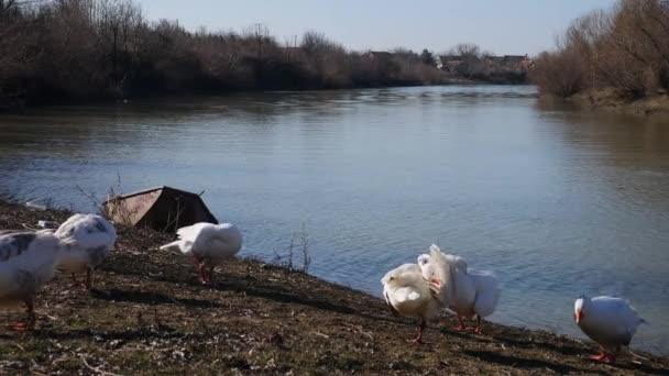 Ein Schwarm Gänse putzt sich am Flussufer heraus
