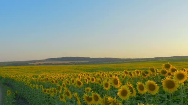 4k, a beautiful field of sunflowers against a sunset