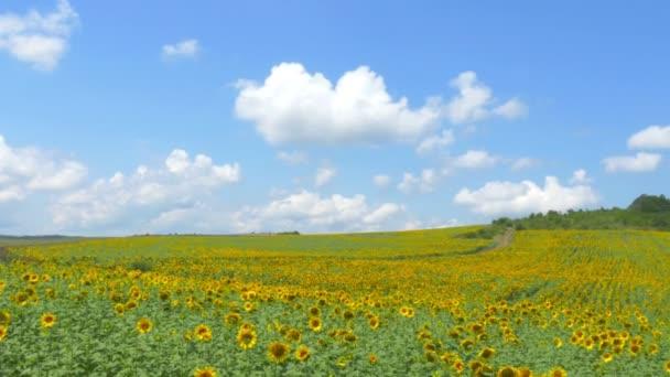 4, pole žlutých květin a modrého nebe
