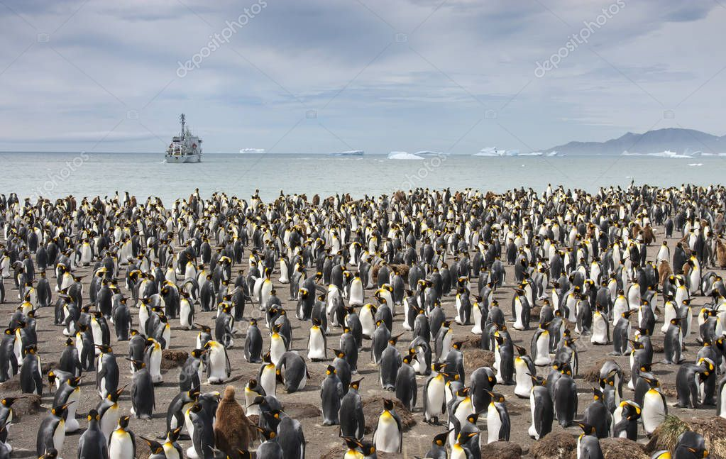 king penguins breeding colony in an island of South Georgia