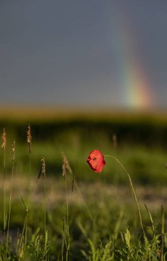 poppy flower in field with rainbow in sky at background