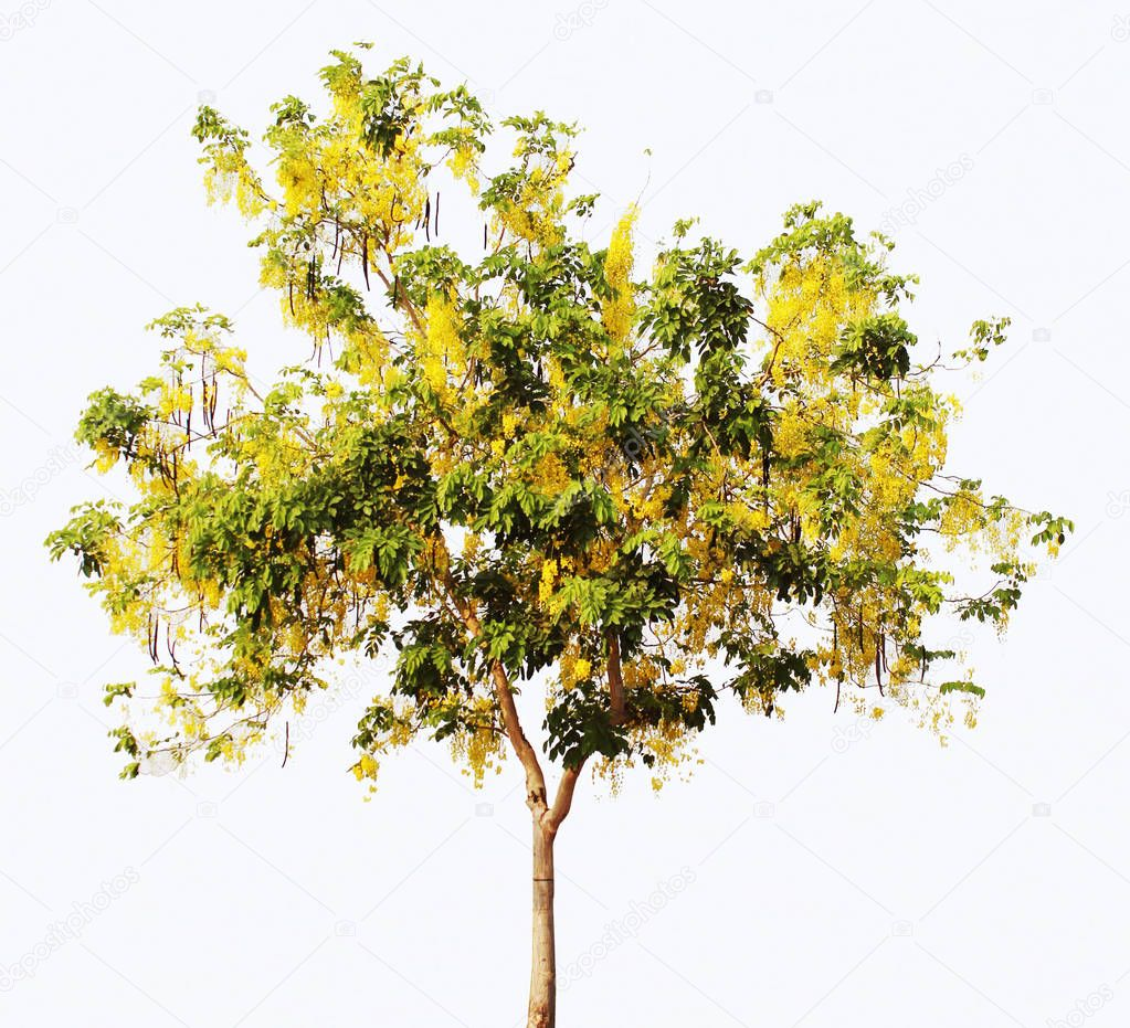 Cassia fistula tree. Golden Shower Tree. Fabaceae. Caesalpinioideae. Plant. isolated on white background